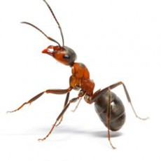 BUGOR-3458-Bug-Photos-300x300_0005_Ants