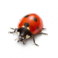 BUGOR-3458-Bug-Photos-300x300_0006_Ladybug
