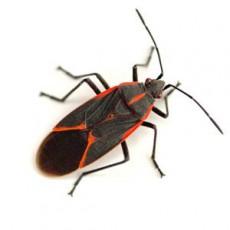 BUGOR-3458-Bug-Photos-300x300_0007_Boxelder-bug