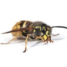 BUGOR 3458 Bug Photos 300x300_0011_Wasp