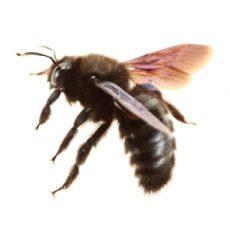 BUGOR 3458 Bug Photos 300x300_0014_Bee
